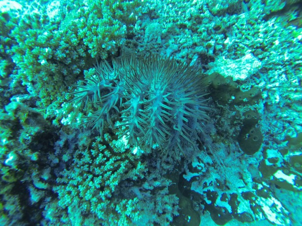 The crown of thorns starfish. Nasty creature.